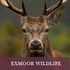 Handsome red deer on Exmoor